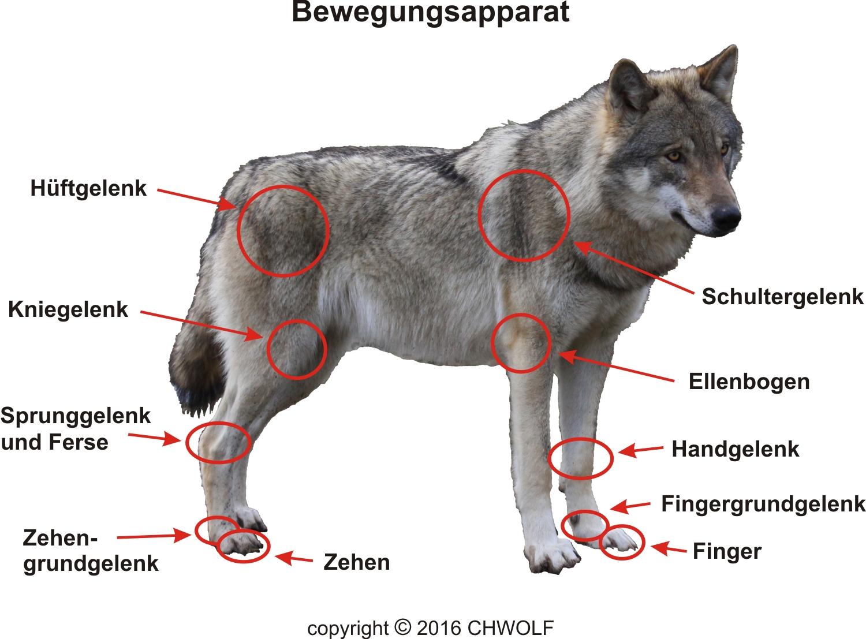 merkmale chwolforg
