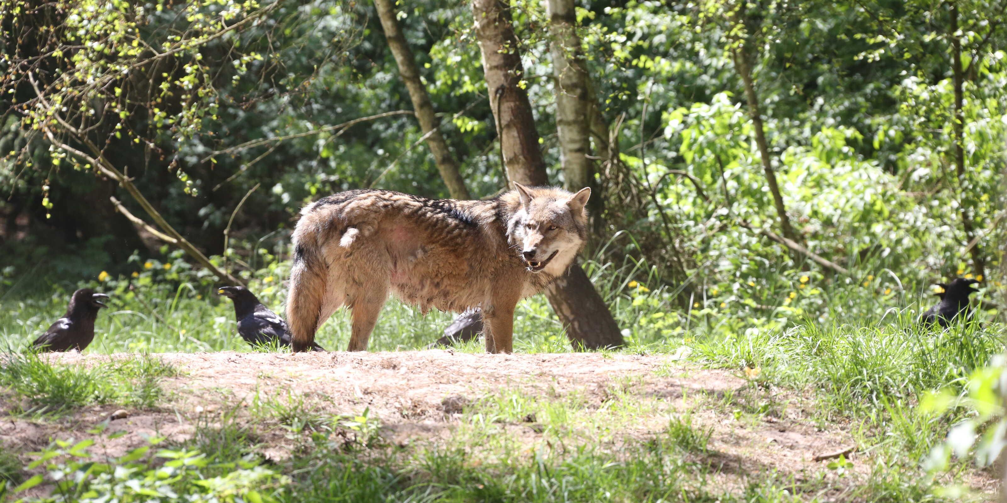 Wölfe kennenlernen